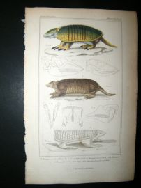 Cuvier C1835 Antique Hand Col Print. Banded Armadilla, The Tataway, The Truncated Clamyphor Of Chili, 46